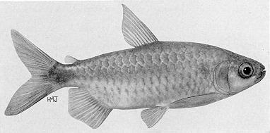 Brycinus imberi, an alestiid characin