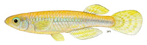 Micropanchax johnstoni, a poeciliid killifish found in Lake Malawi; illustration from Skelton (1993), used by permission of P.H. Skelton