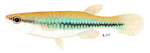 Micropanchax katangae, a poeciliid killifish found in the Lake Malawi drainage; illustration from Skelton (1993), used by permission of P.H. Skelton