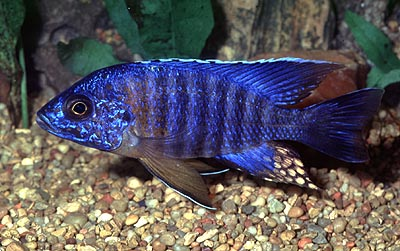 Aulonocara hansbaenschi `red shoulder,`