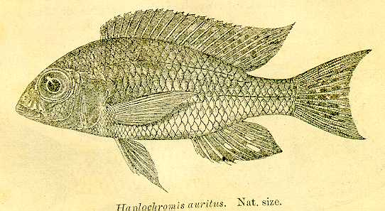 Lethrinops auritus, drawing from Regan (1922)