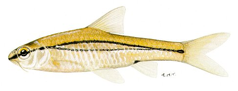 Barbus bifrenatus, a cyprinid