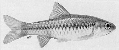 Barbus eutaenia, a cyprinid