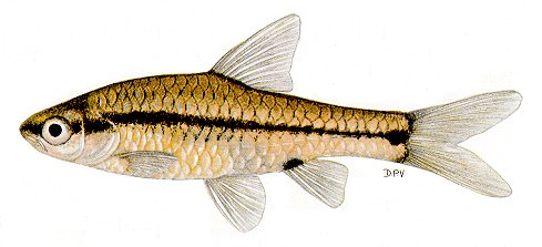 Barbus macrotaenia, a cyprinid