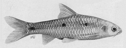 Barbus trimaculatus, a cyprinid