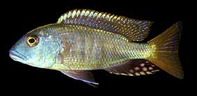 Buccochromis oculatus, male; photo by Erwin Schraml