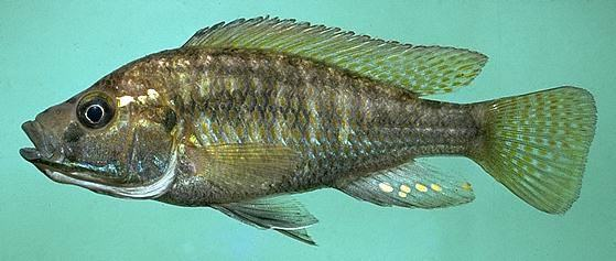 Astatotilapia calliptera, photo copyright © 1997