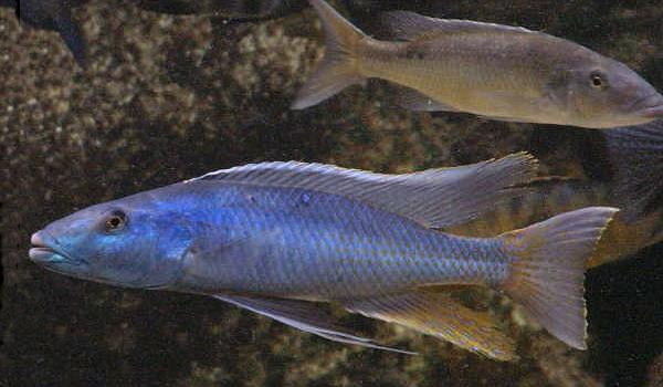 Champsochromis caeruleus,