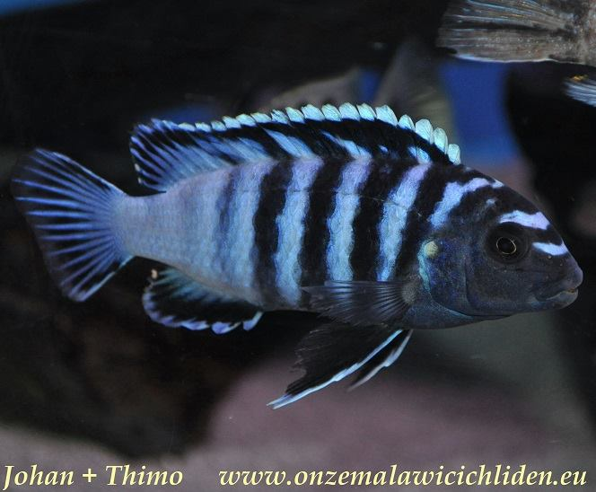 Chindongo minutus, male. Photo © by Johan Groffen; used by permission
