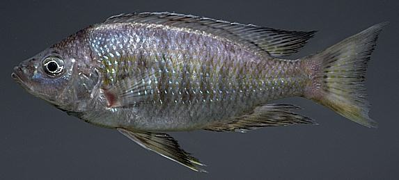 Copadichromis ?virginalis; photo by M.K. Oliver