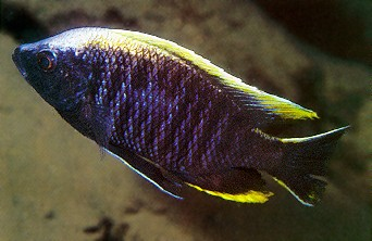 Copadichromis geertsi, male, photo by Ad Konings,