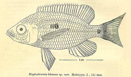 Copadichromis likomae, drawing of holotype
