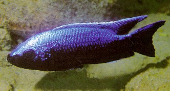 Copadichromis trewavasae, male, photo by Ad Konings,