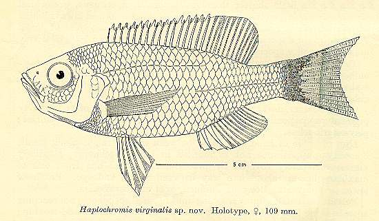 Copadichromis virginalis, drawing of holotype