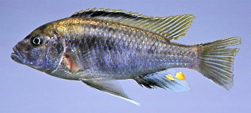 Cyathochromis obliquidens. Photo © by M.K. Oliver