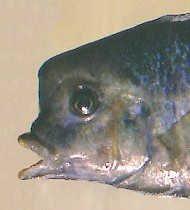 C. moorii, head variation; photo © 2001 by M. K. Oliver