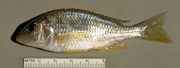 Otopharynx decorus. Photo copyright © 1997 by M. K. Oliver