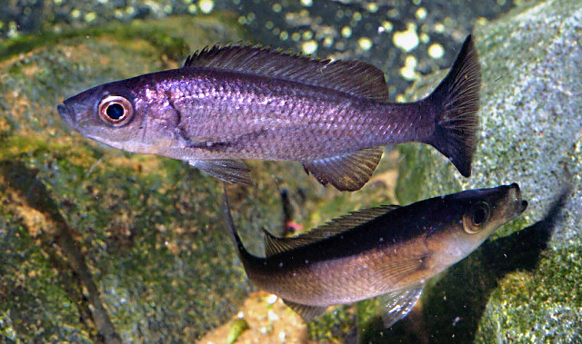 Diplotaxodon limnothrissa, photo copyright © by Oliver Lucanus