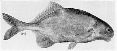 Hippopotamyrus discorhynchus, a mormyrid