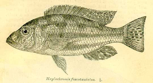 Nimbochromis fuscotaeniatus, drawing of holotype