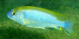 Gephyrochromis lawsi,