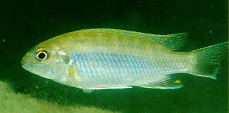 Gephyrochromis moorii, photo by Ad Konings