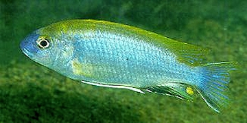 Gephyrochromis lawsi. Photo © Ad Konings