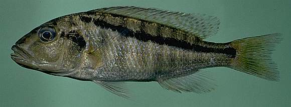 Buccochromis heterotaenia, photo by M.K. Oliver