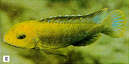 Iodotropheus sprengerae, photo from Ribbink et al. (1983)