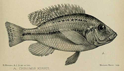 Protomelas kirkii, drawing from the original description of Günther (1894)