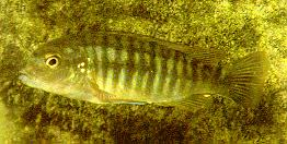 Labidochromis mbenjii; photo by Ad Konings, used by permission