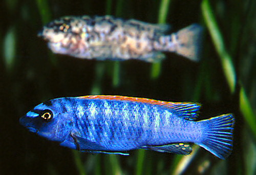 Labeotropheus trewavasae pair in Berlin Aquarium, photo copyright © by M.K. Oliver