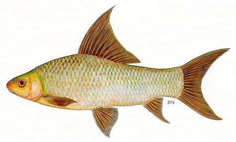 Labeo altivelis, a cyprinid
