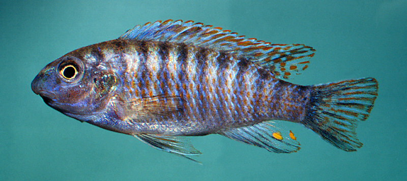 Labeotropheus fuelleborni, photo © M.K. Oliver