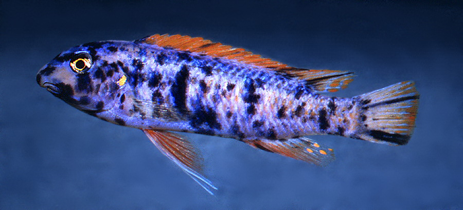 Labeotropheus trewavasae OB male ('marmalade cat'), photo © by M.K. Oliver