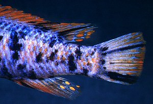 Labeotropheus trewavasae, OB male `marmalade cat'; photo © M.K. Oliver
