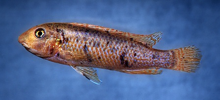 Labeotropheus trewavasae, OB, sex uncertain; photo © M.K. Oliver
