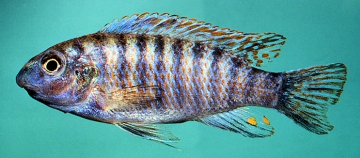 Labeotropheus fuelleborni. Photo © by M.K. Oliver
