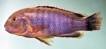 Labidochromis heterodon. Photo © by M.K. Oliver