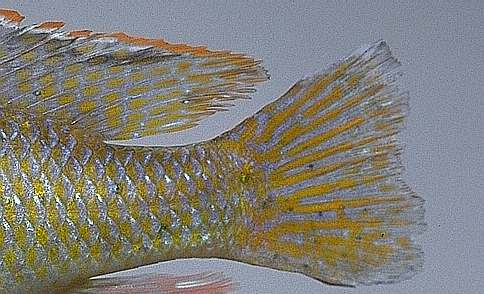 Mylochromis lateristriga, caudal fin, photo