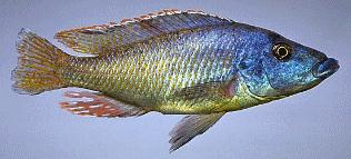 Mylochromis lateristriga, photo