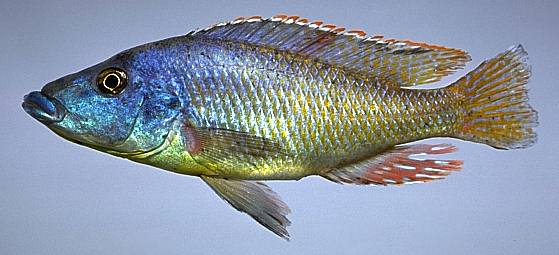 Mylochromis lateristriga, photo copyright © by M. K.