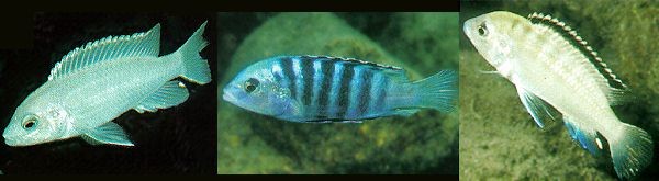 3 photos of Labidochromis caeruleus color