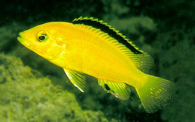 Photo of yellow Labidochromis caeruleus by