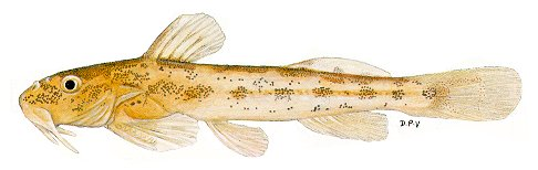 Zaireichthys cf. dorae, an amphiliid catfish resembling a species