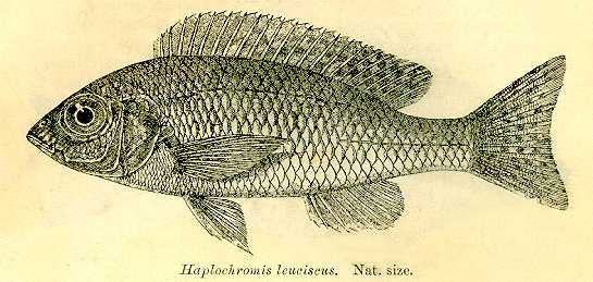 Nyassachromis leuciscus, from Regan (1922)