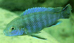 Labidochromis ianthinus; photo by Ad Konings, used by permission
