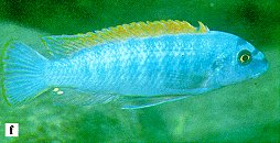 Labeotropheus trewavasae, photo from Ribbink et al. (1983)