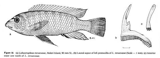 Labeotropheus trewavasae, drawings from Ribbink et al. (1983)