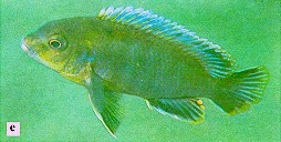 Labidochromis vellicans, photo from Ribbink et al. (1983)
